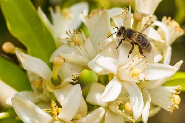 نیش زنبورعسل